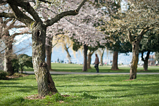 Cherry trees at Kitsilano beach, Vancouver