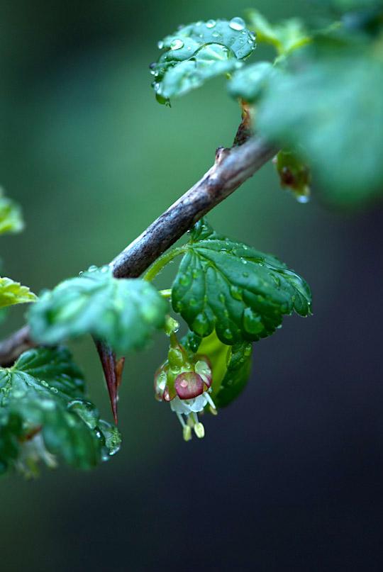 gooseberry flower in April