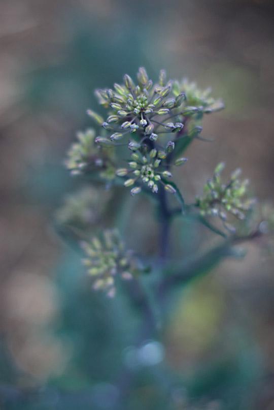 kale flower head in April