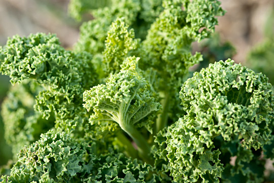 Winterbor kale plant in early spring