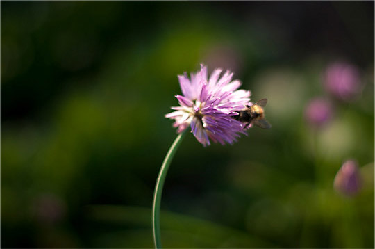 bee on a chive flower