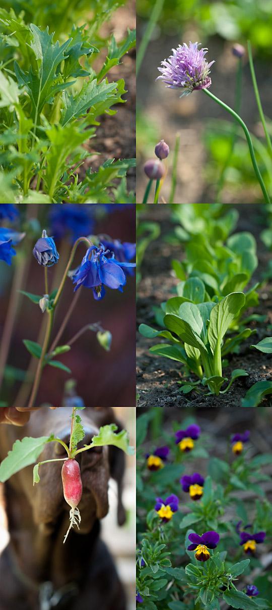 mizuna, chive flower, columbine, bok choy, radish and pansy