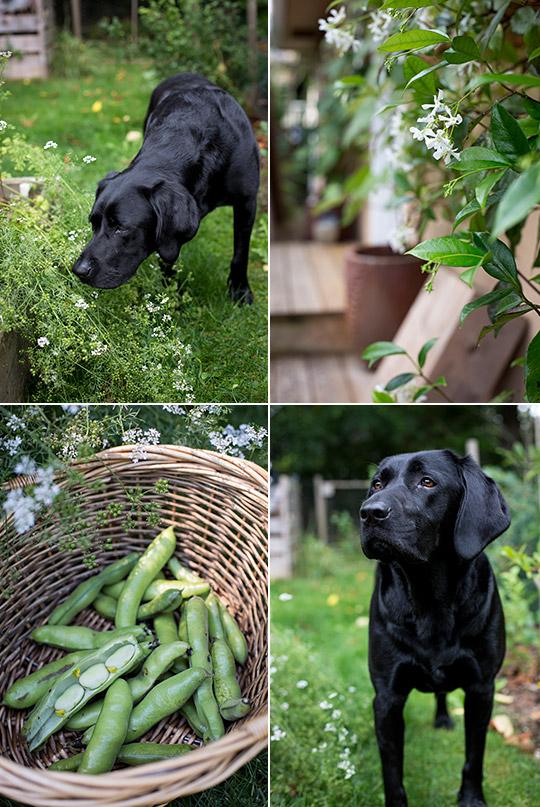 broad beans, jasmine, a Labrador