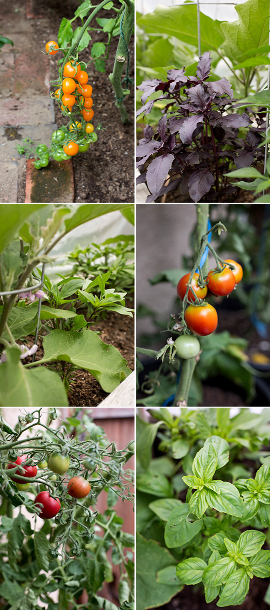 Heirloom tomatoes and Dark Opal, Siam Queen and Genovese basil plants