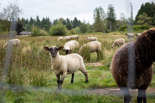 Sheep at Heather Hills Farm Society