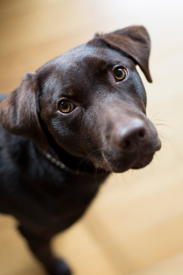 My sister's chocolate Labrador